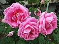 Roses in Garden - Telavi - Georgia (17765452304).jpg