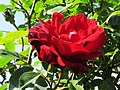Rote Duft Rose - panoramio.jpg