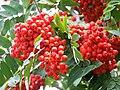 Rowan Berries - geograph.org.uk - 515690.jpg