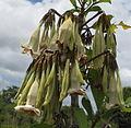 Rubiaceae Balama 5 (12174243293).jpg