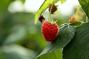 Rubus idaeus (KK).jpg