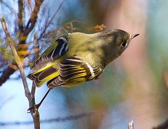 Ruby-crowned kinglet - Tail plumage
