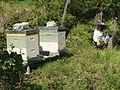 Ruches avec un apiculteur en embuscade contre les frelons.JPG