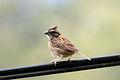 Rufous-collared Sparrow - Correporsuelo (Zonotrichia capensis) (10024215603).jpg