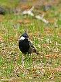 Rufous-naped Tit (Periparus rufonuchalis) (27992701294).jpg