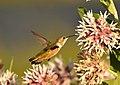 Rufous Hummingbird (juvenile male) on Seedskadee National Wildlife Refuge (27862170094).jpg