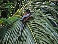 Rufous Treepie, Basirhat, India.jpg