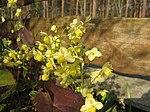 Ruhland, Grenzstr. 3, gelbe Elfenblume im Garten, blühend, Frühling, 09.jpg