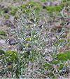 Ruig schapengras bloeiwijze (Festuca ovina subsp. hirtula)