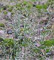 Ruig schapengras bloeiwijze (Festuca ovina subsp. hirtula).jpg