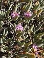 Ruschia burtoniae Knersvlakte.jpg