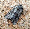 Rustic Shoulder-knot. Apamea sordens - Flickr - gailhampshire.jpg