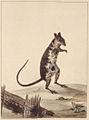 SLNSW 797167 f 27 Poto Roo or Kangaroo Rat.jpg