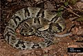 SP Bothrops jararaca.jpg