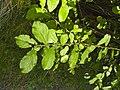 Salix aurita 004.jpg