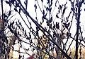 Salix gracilistyla var. melanostachys - Black Pussy Willow - 2623.jpg