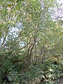 Salix lasiandra (5014369823).jpg