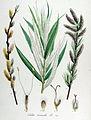 Salix viminalis — Flora Batava — Volume v14.jpg