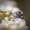 Salticus propinquus mâle vu de face.jpg