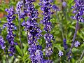 Salvia farinacea-IMG 9336.jpg
