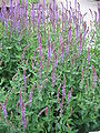 Salvia nemorosa01.jpg
