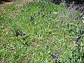 Salvia verbenaca Habitat 2010-4-02 SierraMadrona.jpg