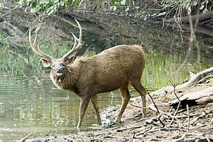 Sambar deer - A stag at the Ranthambore National Park