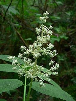 Sambucus racemosa 10586
