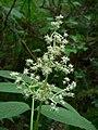 Sambucus racemosa 10586.JPG