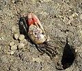 Sand Fiddler Crab. Uca pugilator (24373949768).jpg