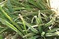 Sansevieria aethiopica 2zz.jpg