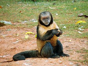 Golden-bellied capuchin - Image: Sapajus xanthosternos 3