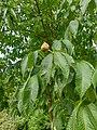 Sapindales - Aesculus flava - 2.jpg