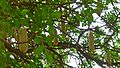 Sausage Tree (Kigelia africana) (6016744429).jpg