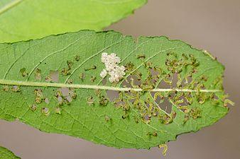 Sawflies larvae (31331053663).jpg