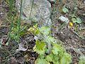 Saxifraga rotundifolia 2017-04-17 7536.jpg
