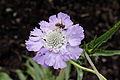 Scabiosa caucasica-IMG 6169.jpg