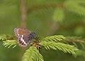 Scarce heath - Coenonympha hero.jpg