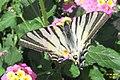 Scarce swallowtail (MakGi) (34218910573).jpg