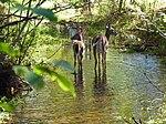Schmeeckle reserve deer.jpg