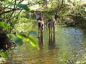 Schmeeckle Reserve (Stevens Point, Wisconsin) - Image: Schmeeckle reserve deer