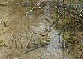 Schoenoplectus lacustris kz04.jpg