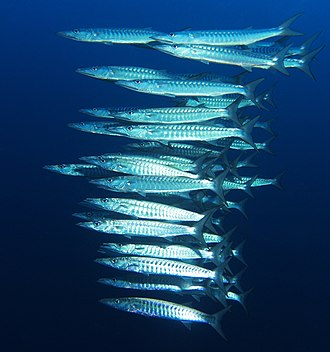 Barracuda - School of Sphyraena qenie, at Elphinstone Reef in the Red Sea
