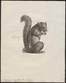 Sciurus variegatus - 1700-1880 - Print - Iconographia Zoologica - Special Collections University of Amsterdam - UBA01 IZ20400043.tif