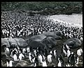 Sea elephants asleep amongst royal penguins.jpg