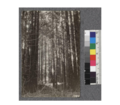 Secondgrowth Redwood Yield Study. N. fork of Gualala River - plot -11. A 40 year old stand of redwood - 79 thousand board feet per acre. Oct. 1922.png