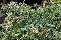 Selaginella uncinata 4zz.jpg
