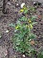 Senecio vulgaris 108915658.jpg