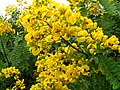 Senna spectabilis Flowers.jpg