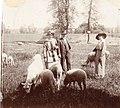 Sheep 1912.jpg